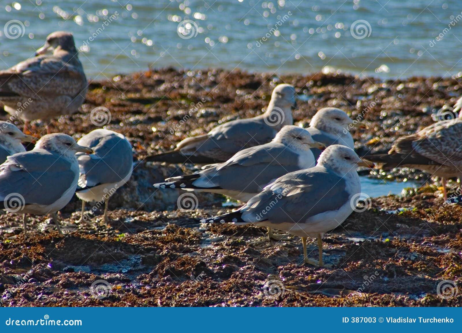 ωκεάνια ειρηνικά seagulls