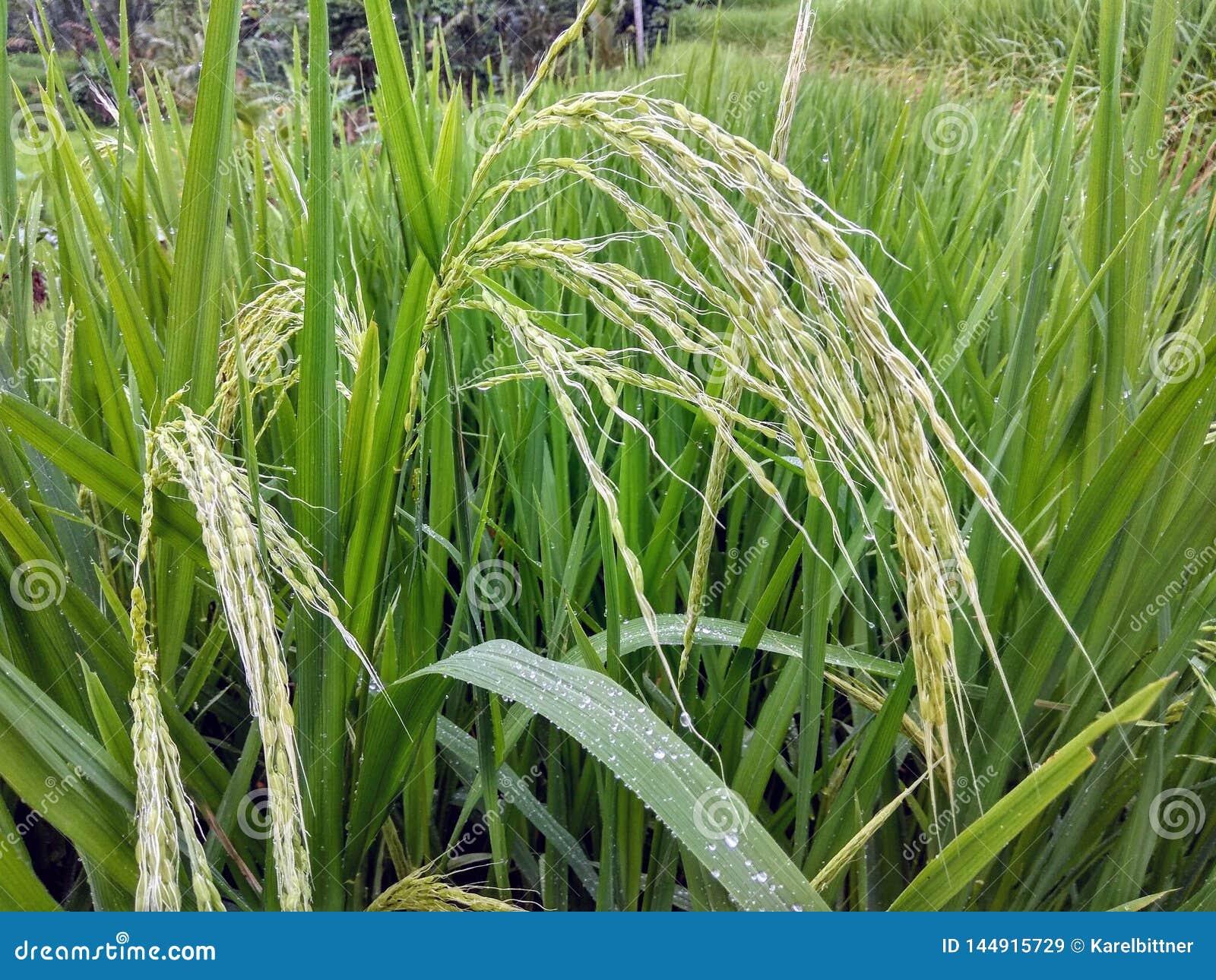 Ωριμασμένο ρύζι στους τομείς ορυζώνα στο Μπαλί, Ινδονησία