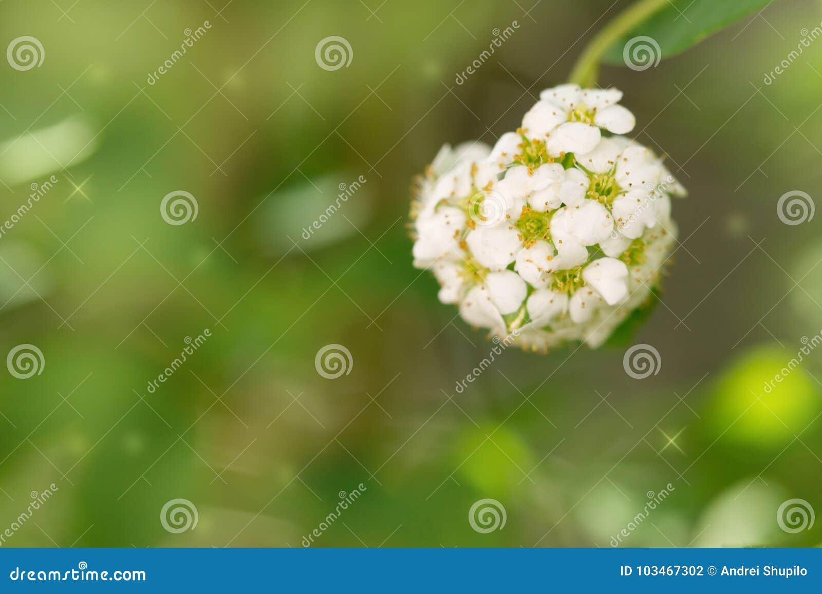 Όμορφα άσπρα λουλούδια στη φύση Μακροεντολή