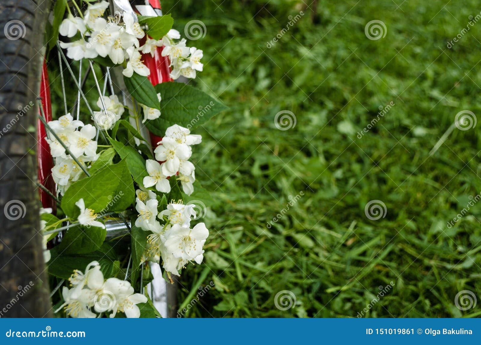 Όμορφα άσπρα λουλούδια jasmine στη ρόδα ενός κόκκινου παλαιού ποδηλάτου στα πλαίσια των πράσινων δέντρων, της κομμένων χλόης και