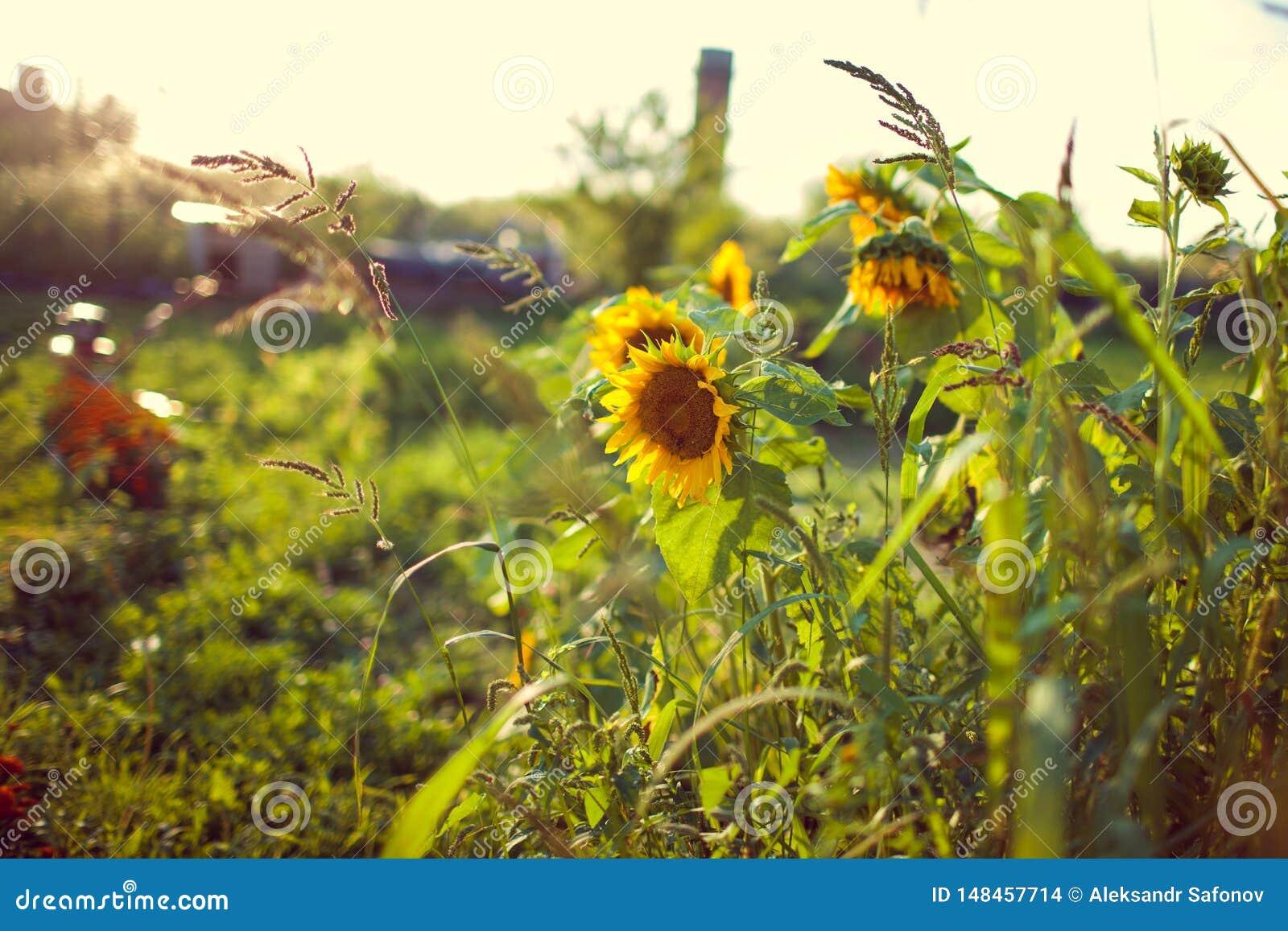 Όμορφα κίτρινα λουλούδια ηλίανθων με τη μαλακή εστίαση και τη θερμή διάθεση