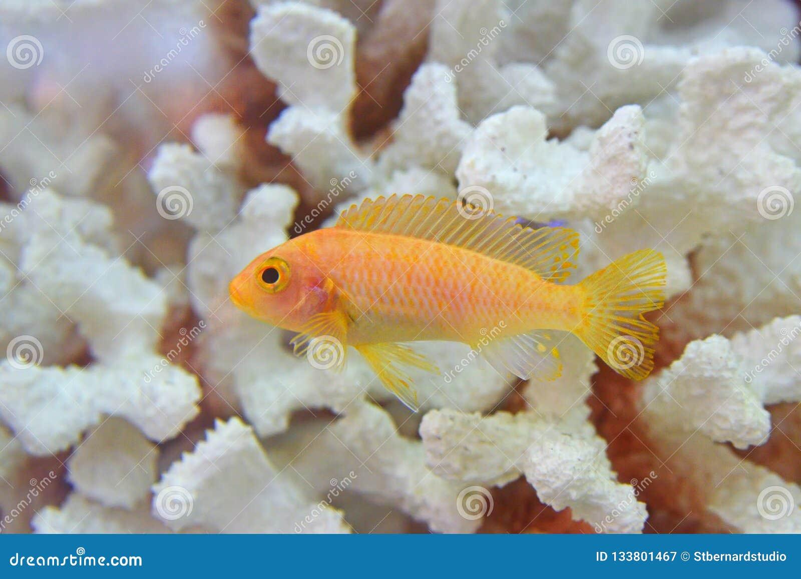 Όμορφα κίτρινα ψάρια Cichlid που κολυμπούν χαριτωμένα με το άσπρο νεκρό κοράλλι στο υπόβαθρο που κρατιέται ως κατοικίδιο ζώο