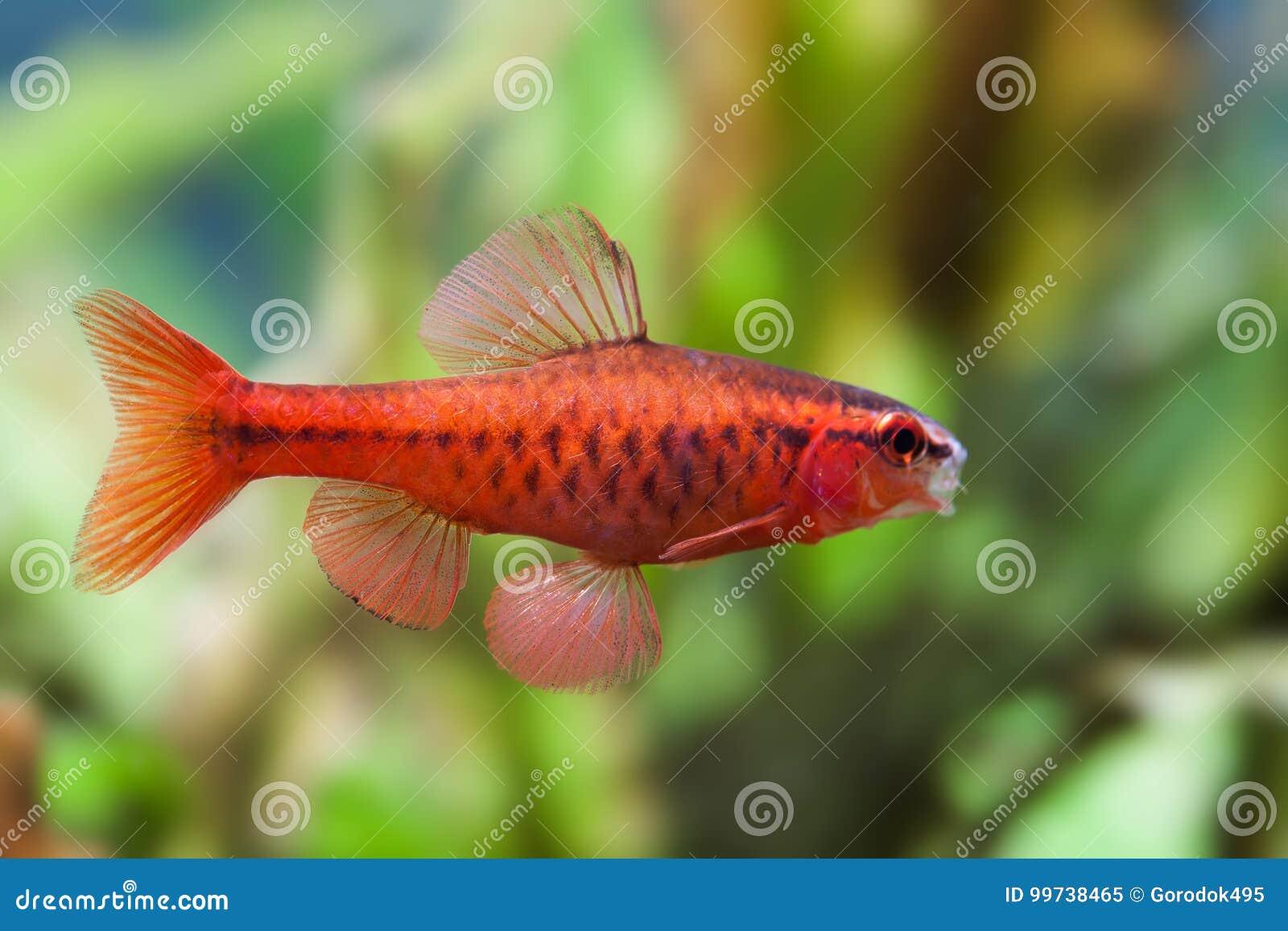Όμορφα κόκκινα ψάρια στο μαλακό πράσινο υπόβαθρο Αρσενικό barb που κολυμπά την τροπική του γλυκού νερού δεξαμενή ενυδρείων Tittey