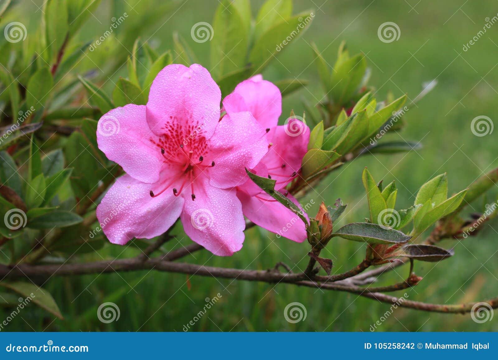 Όμορφα λουλούδια στην Ινδονησία