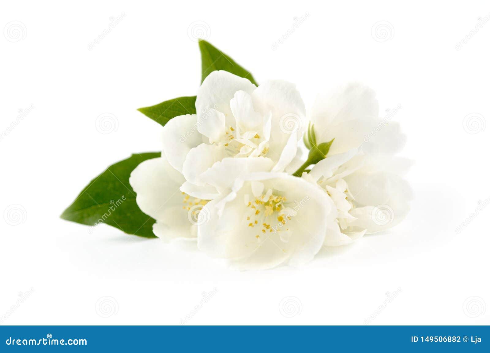 Όμορφα λουλούδια της Jasmine
