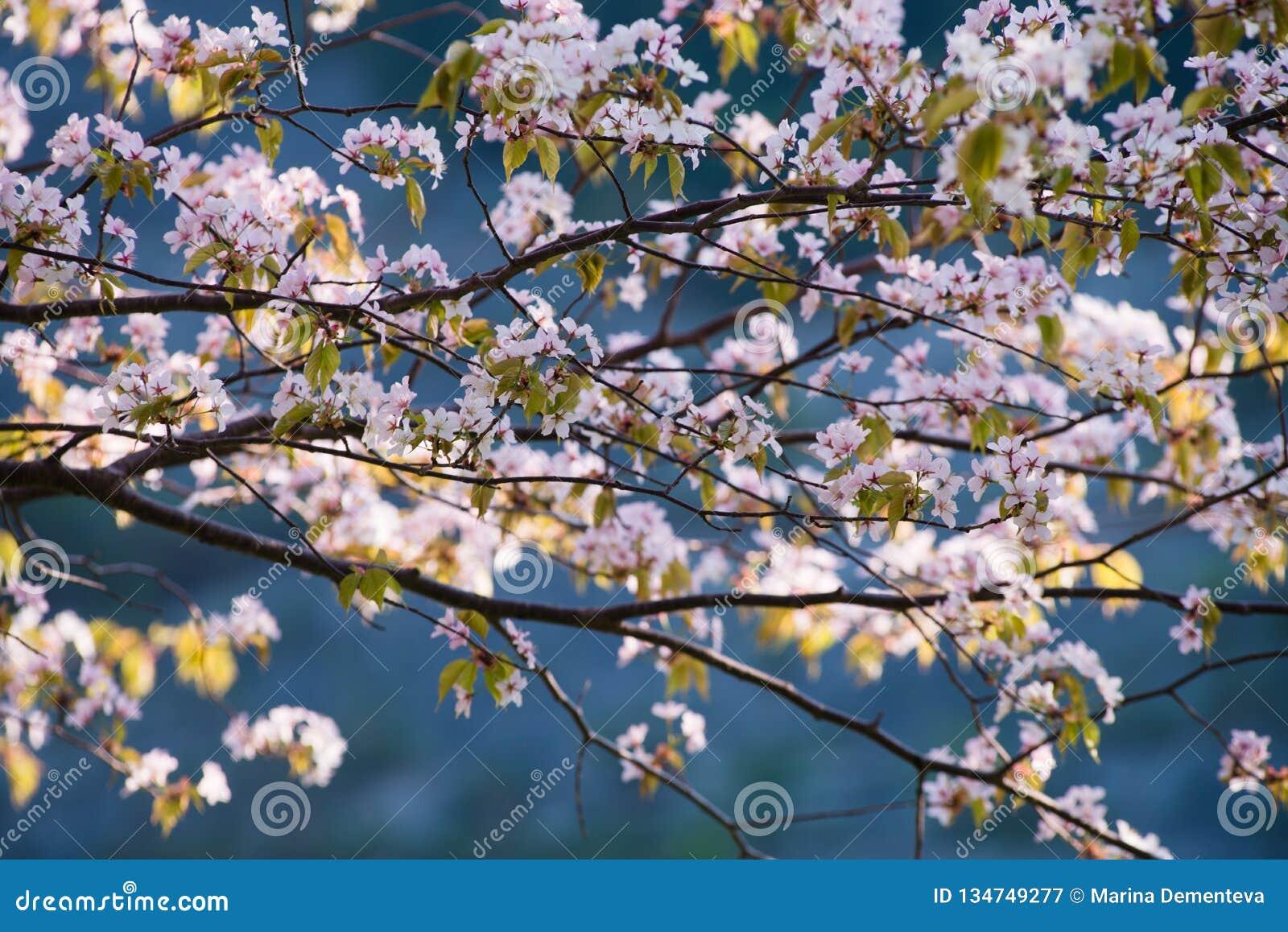 Όμορφα λουλούδια του sakura την άνοιξη