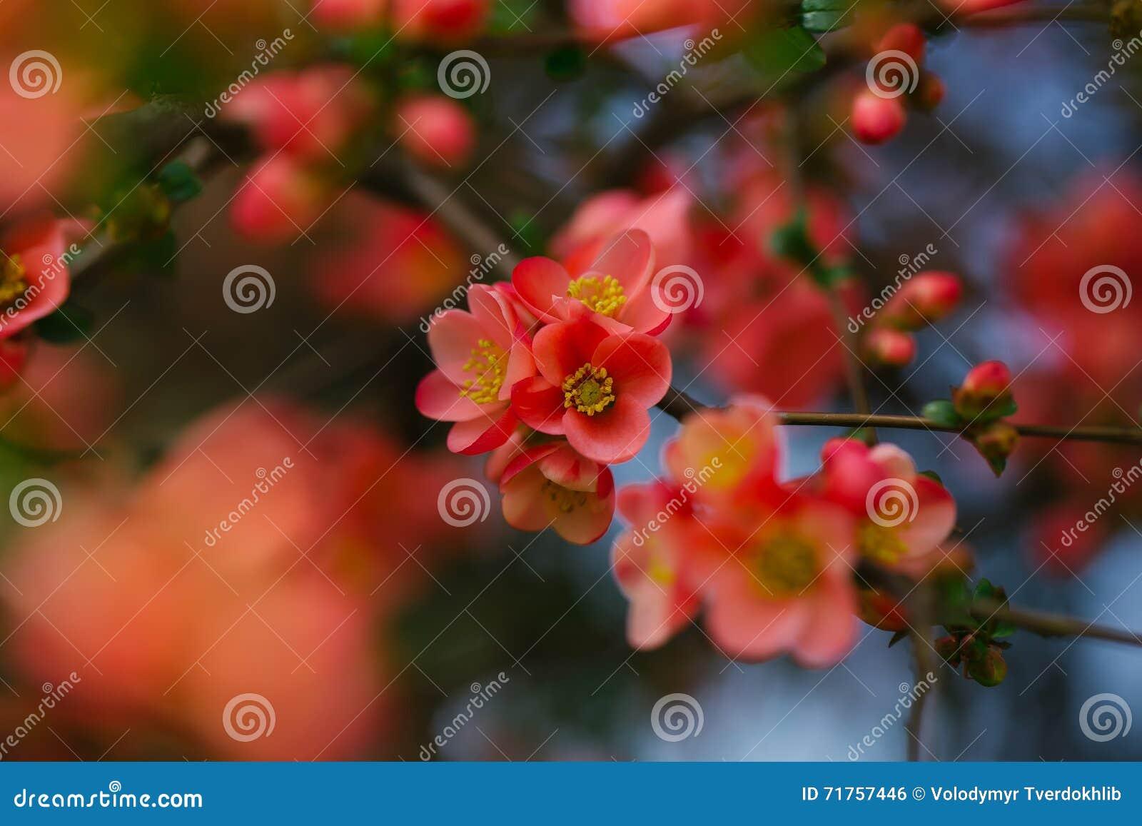 Όμορφα λουλούδια κυδωνιών