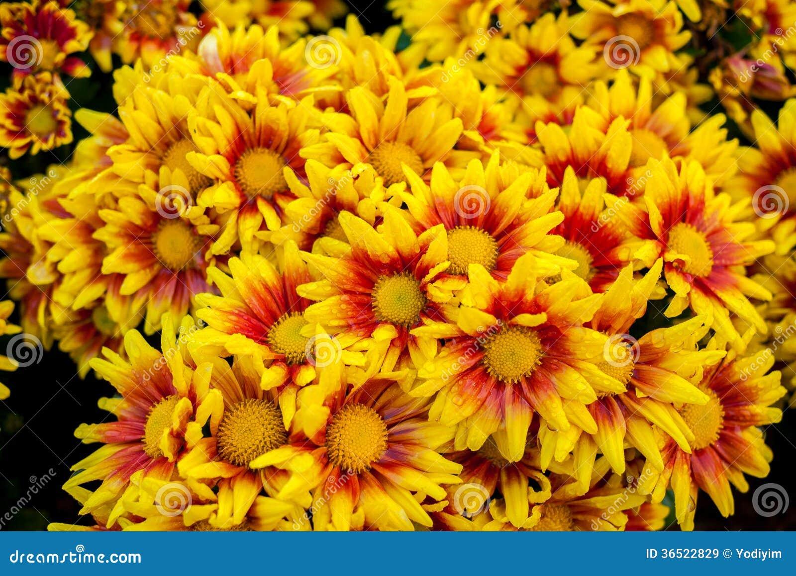 Όμορφα λουλούδια χρυσάνθεμων