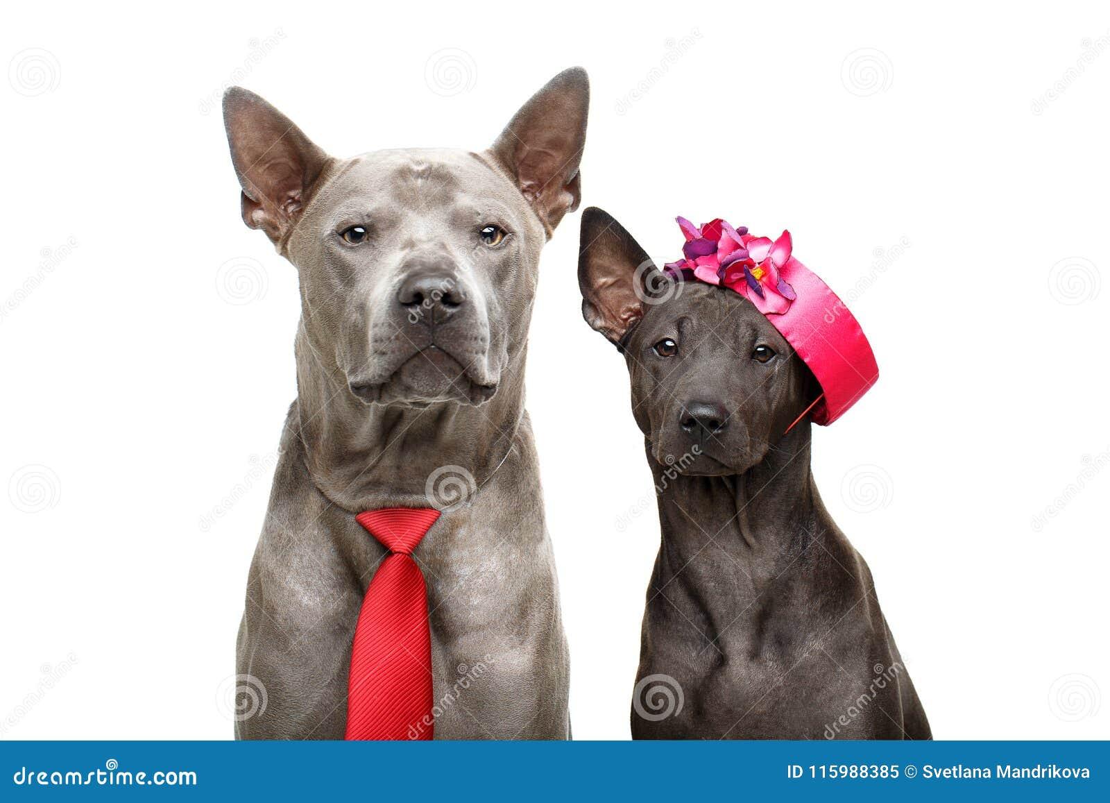 Όμορφα ταϊλανδικά σκυλιά ridgeback
