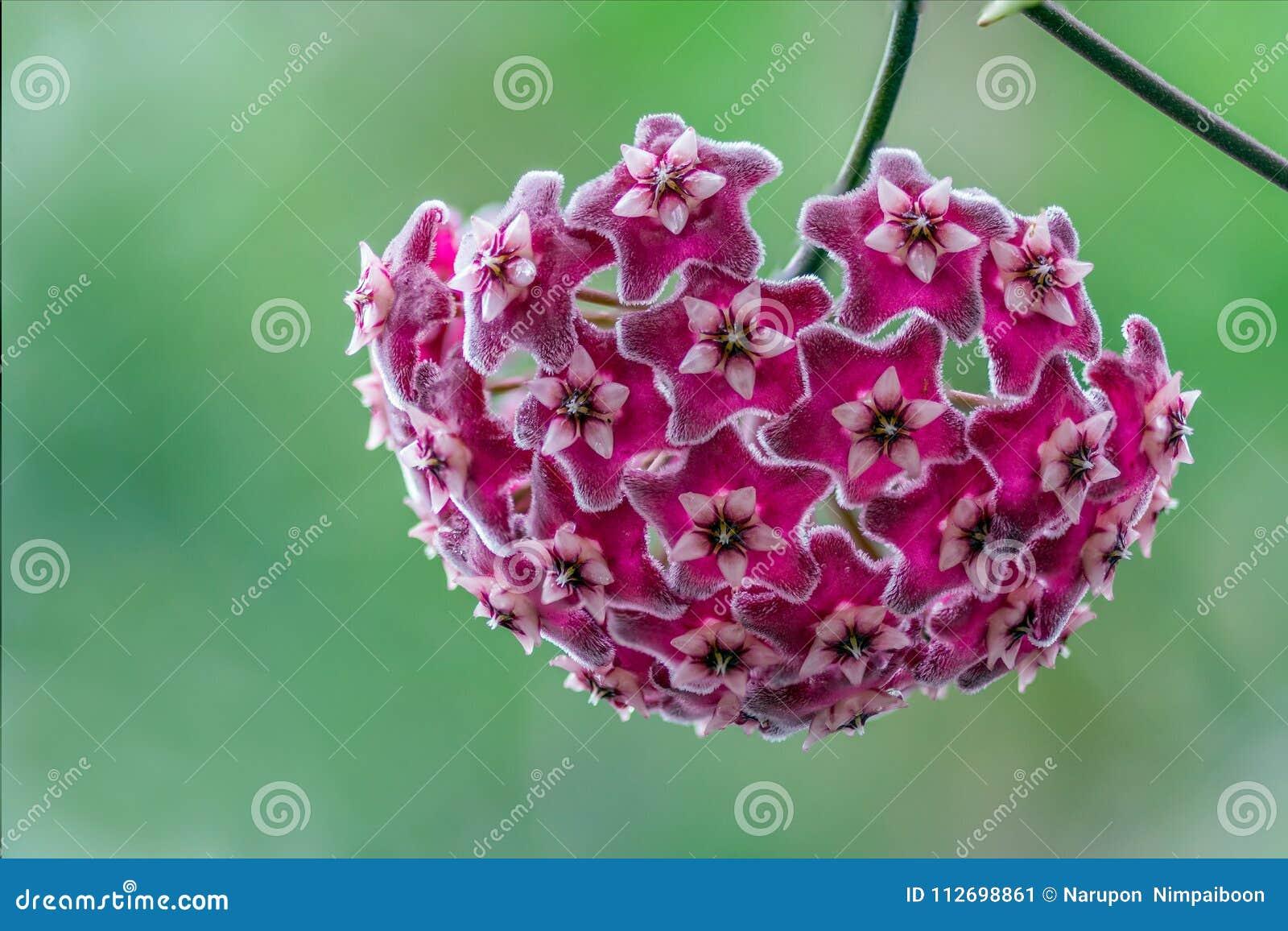 Όμορφα hoya λουλούδια