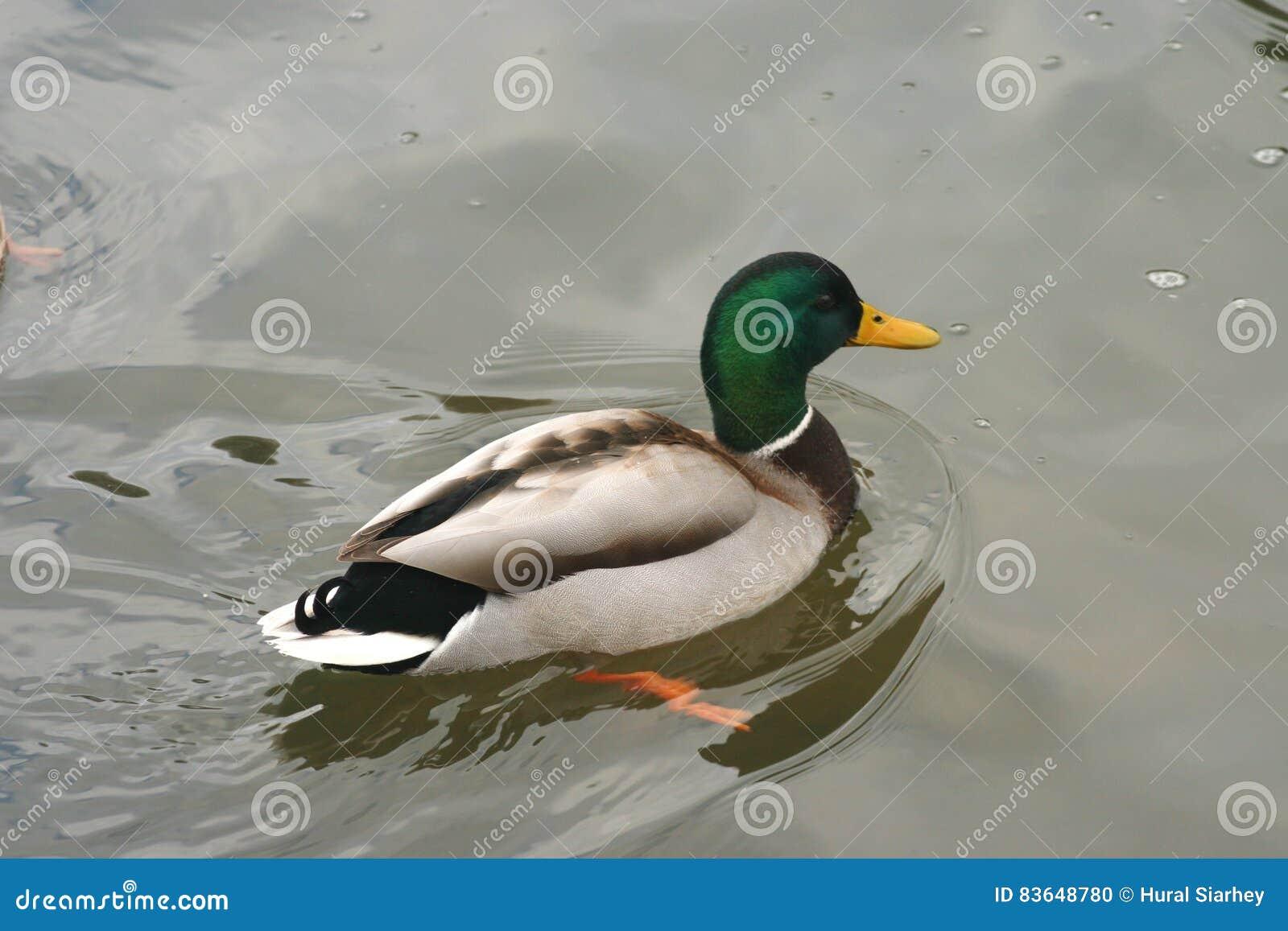 Όμορφες πάπιες στο κρύο νερό 22