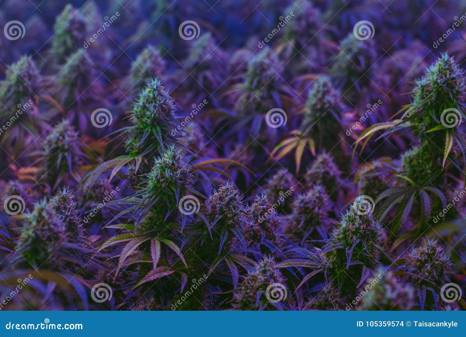 Όμορφες πορφυρές εγκαταστάσεις μαριχουάνα που καλλιεργούνται για την εναλλακτική χρήση υγειονομικής περίθαλψης