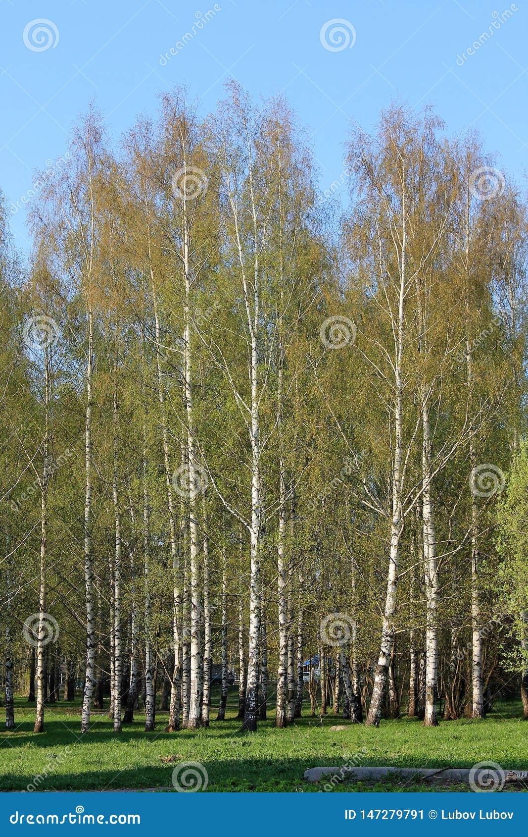 """Όμορφες ρωσικές άσπρες σημύδες â """"– 2"""