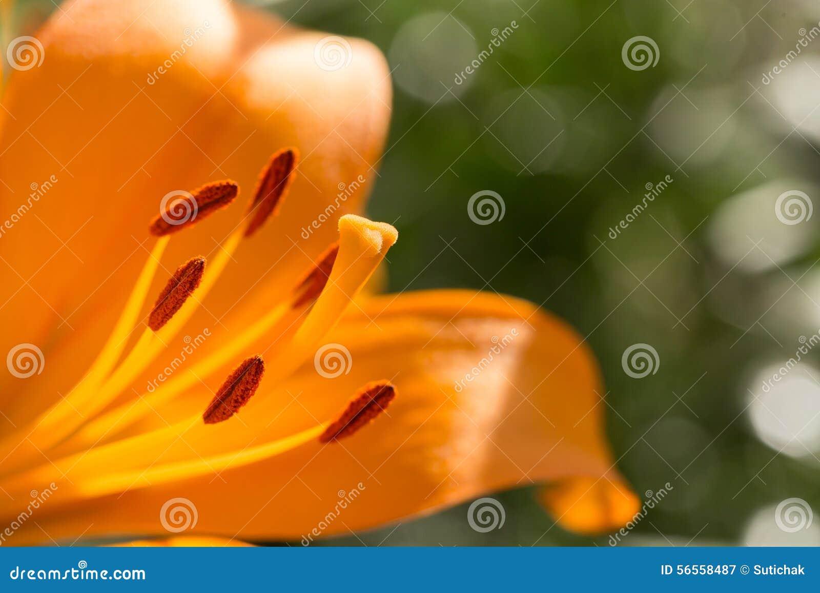 Download Όμορφη άνθιση λουλουδιών κρίνων Στοκ Εικόνα - εικόνα από ανθίζοντας, άνθος: 56558487