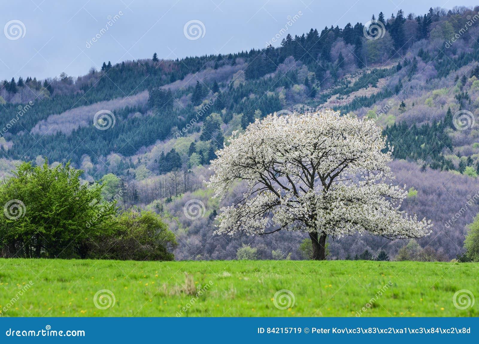 όμορφη άνοιξη τοπίου Άσπρα δέντρα κερασιών λουλουδιών στο συμπαθητικό σύνολο λιβαδιών της πράσινης χλόης Δάσος μπλε ουρανού και μ