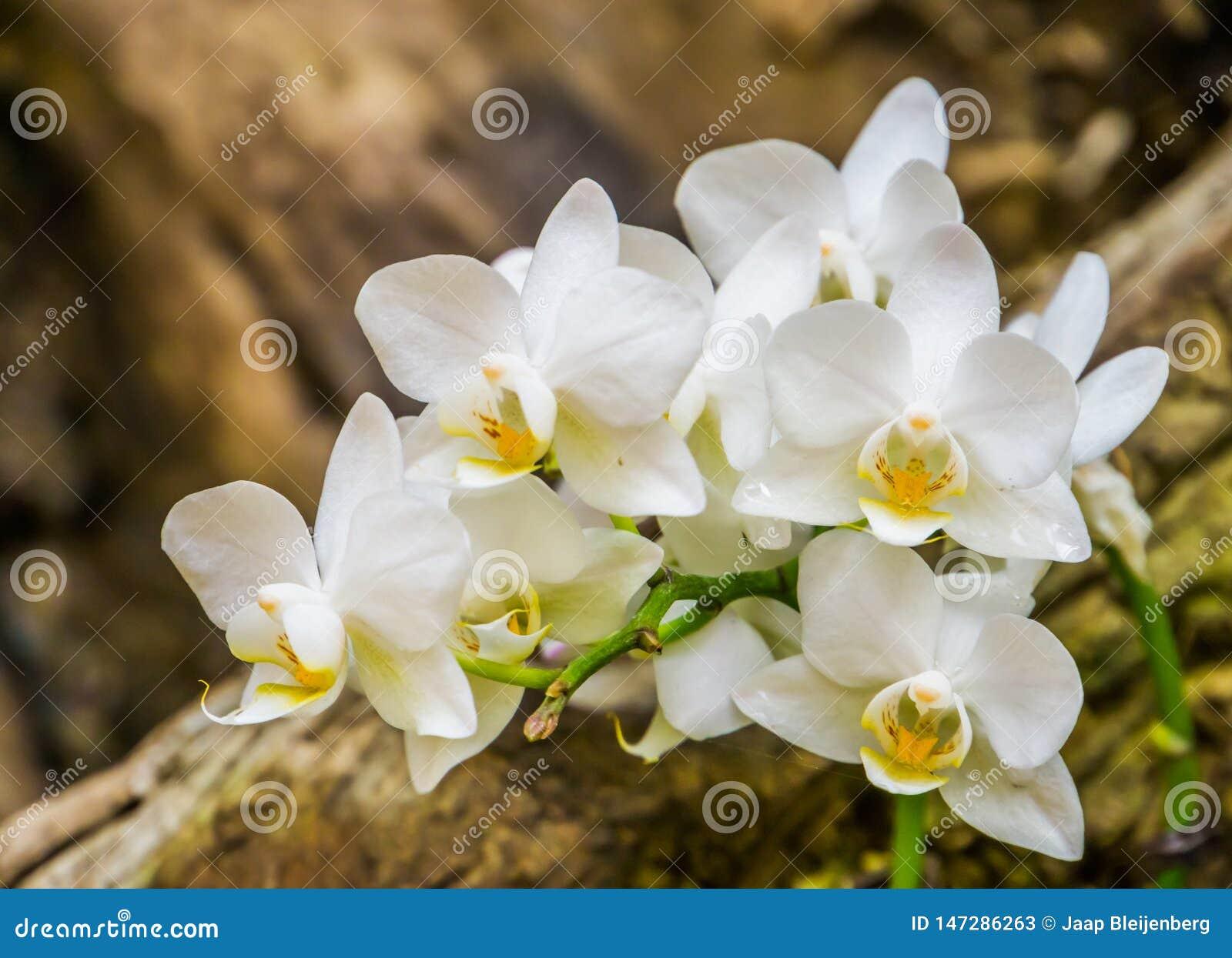 Όμορφη άσπρη ανάπτυξη λουλουδιών ορχιδεών σκώρων σε ένα δέντρο στην κινηματογράφηση σε πρώτο πλάνο, δημοφιλή λουλούδια από την Ασ