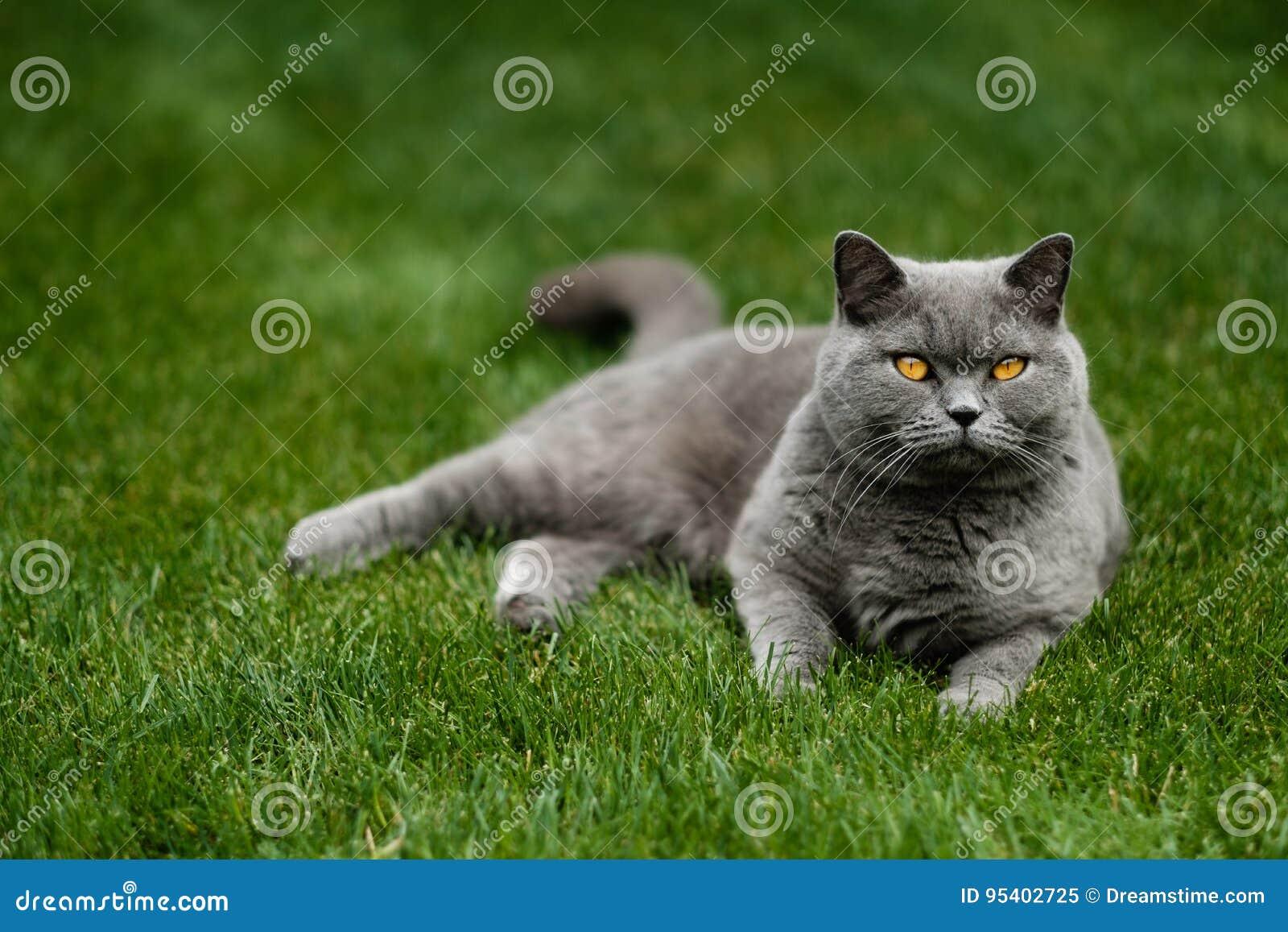 Όμορφη βρετανική μπλε γάτα Shorthair