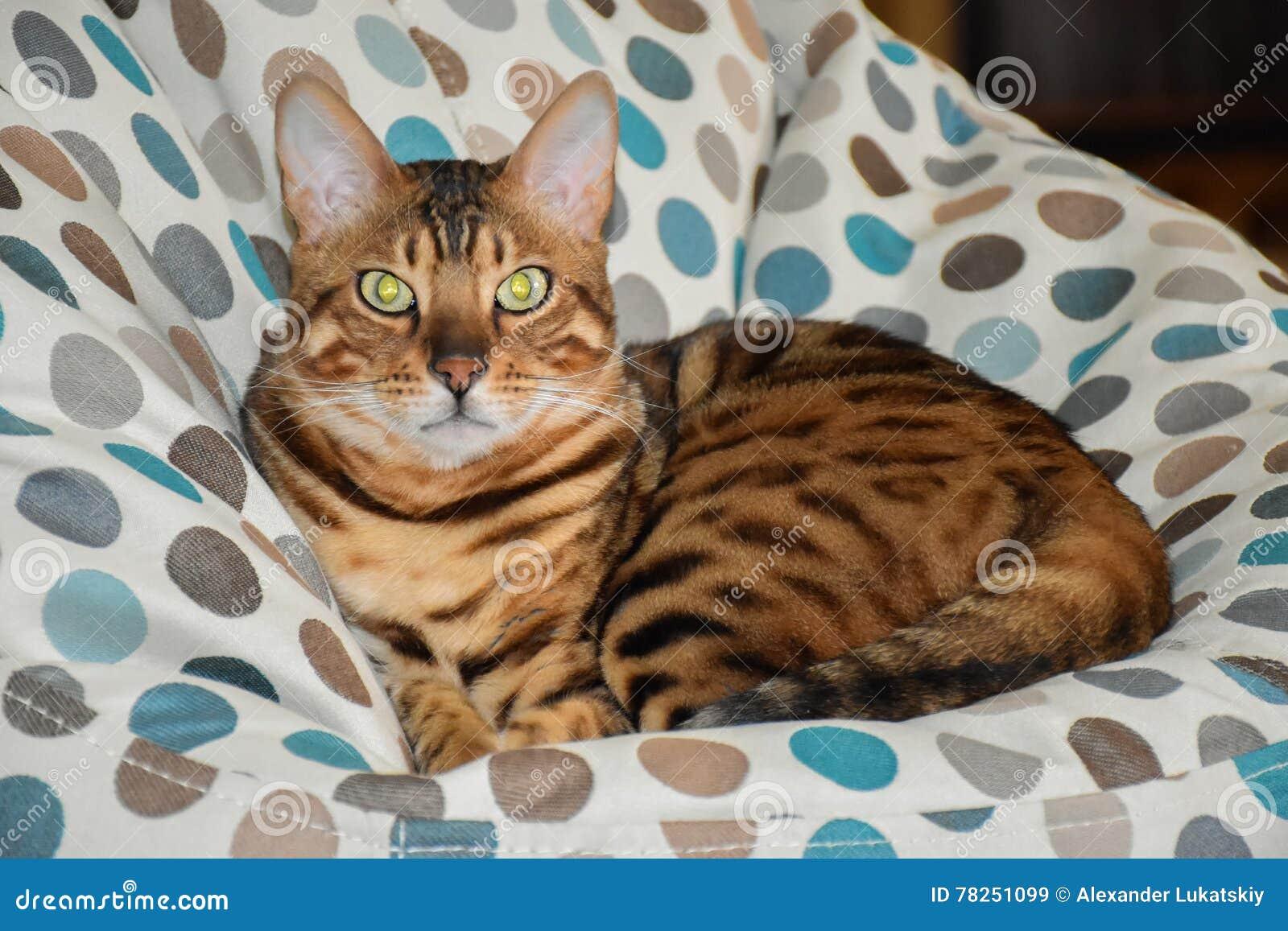 Όμορφη γάτα λεοπαρδάλεων
