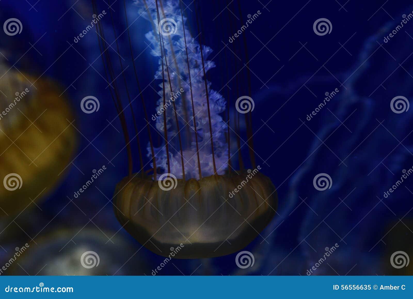 Download Όμορφη διαφανής μπλε & κίτρινη μέδουσα Στοκ Εικόνα - εικόνα από σκοτεινός, θάλασσα: 56556635