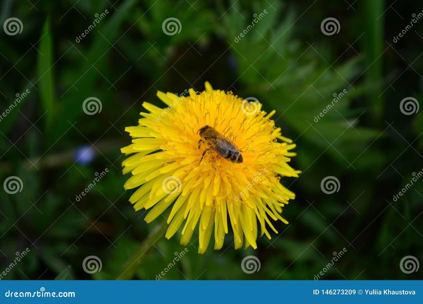 Όμορφη κίτρινη μέλισσα πικραλίδων και μελιού σε έναν πράσινο τομέα