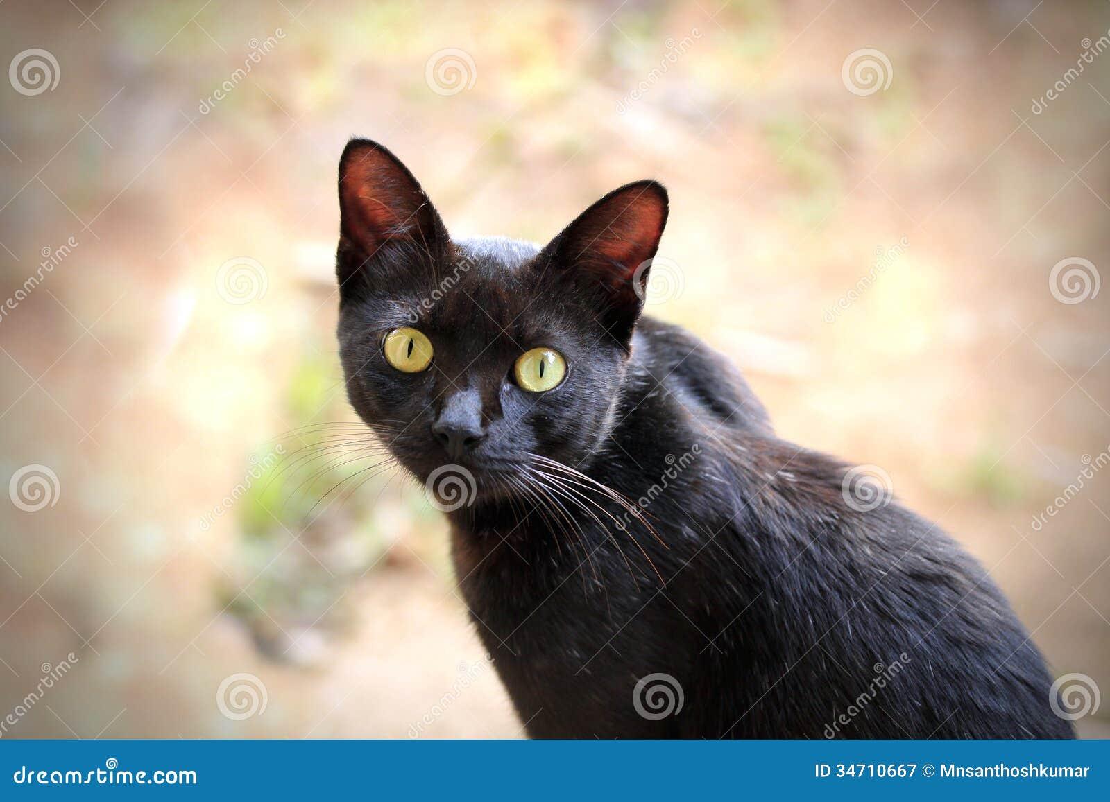 Όμορφη μαύρη γάτα με εκφραστικό να κοιτάξει επίμονα ματιών φουντουκιών