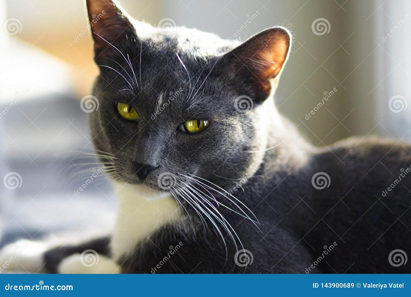 Όμορφη μιγάς γκρίζα γάτα με τα πράσινα μάτια