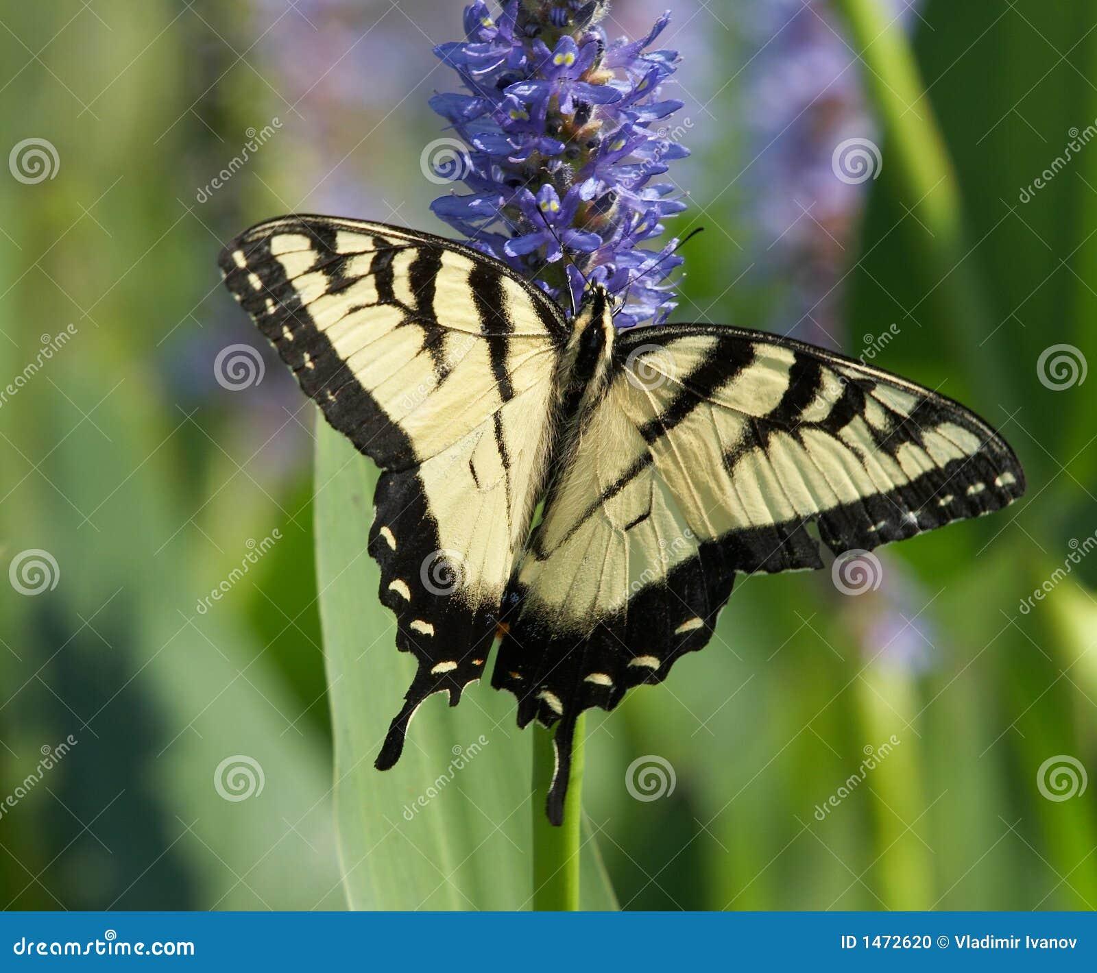 όμορφη πεταλούδα