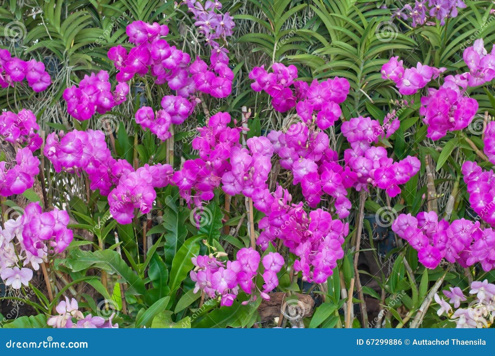 Όμορφη πορφυρή ορχιδέα στον κήπο