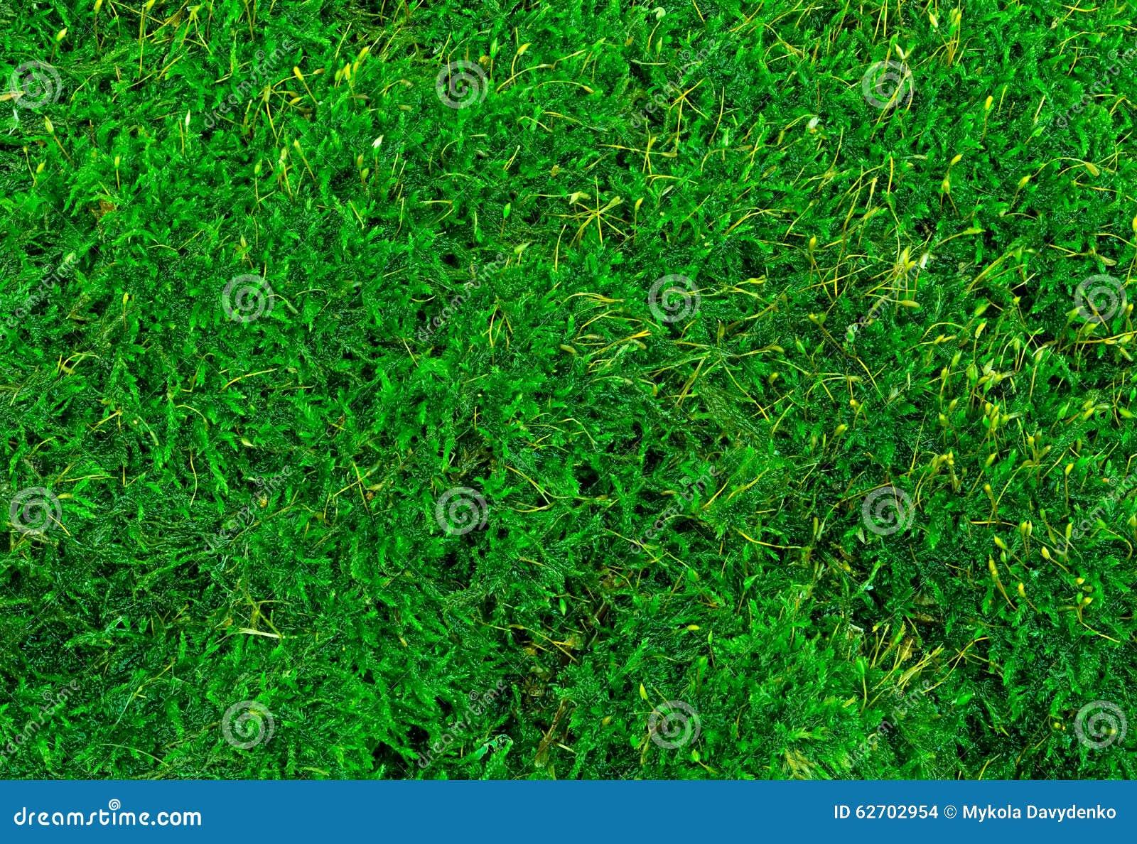 Όμορφη πράσινη κινηματογράφηση σε πρώτο πλάνο σύστασης βρύου, υπόβαθρο με το διάστημα αντιγράφων