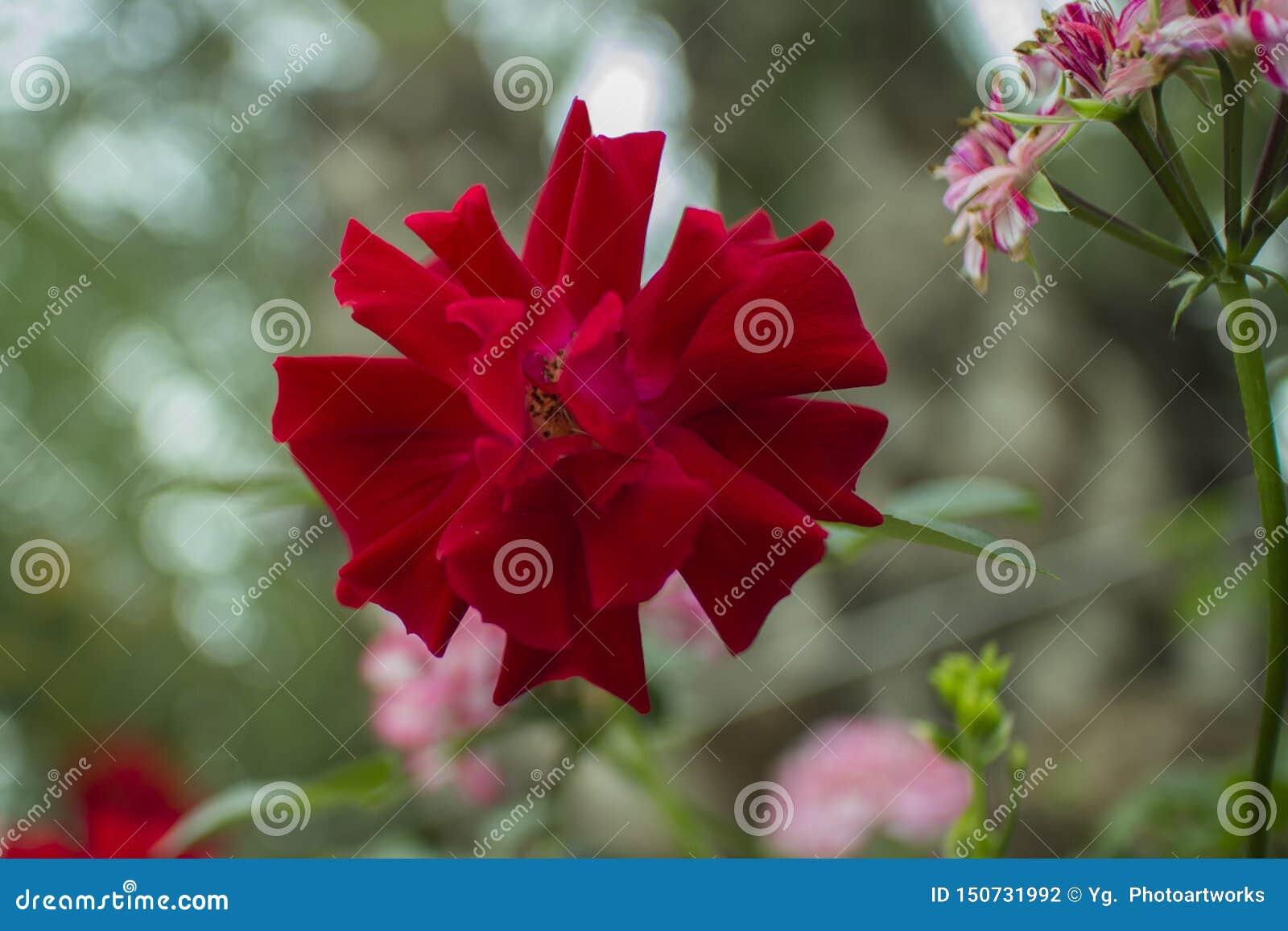 Όμορφη τροπική κόκκινη κινηματογράφηση σε πρώτο πλάνο λουλουδιών με Bokeh