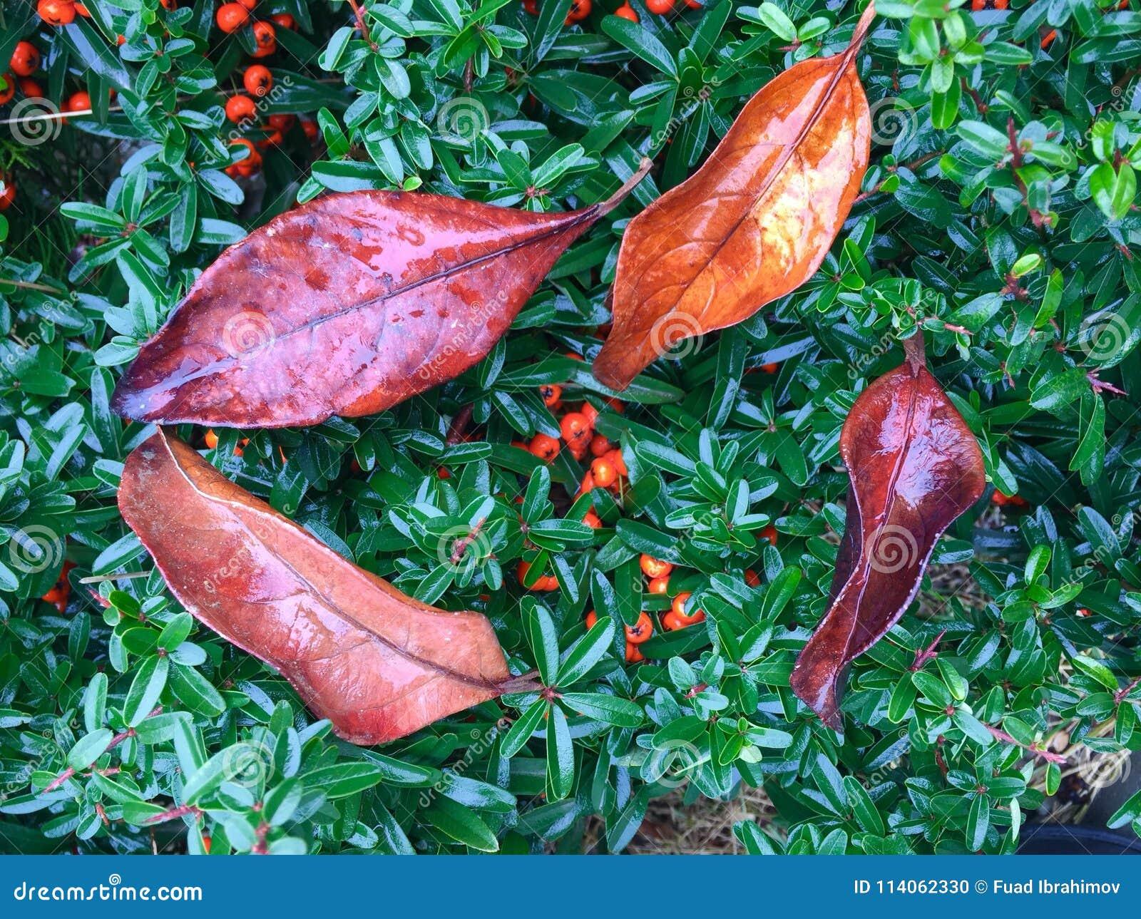 όμορφη floral εικόνα διακοσμήσεων φύλλων πλαισίων φθινοπώρου μήλων