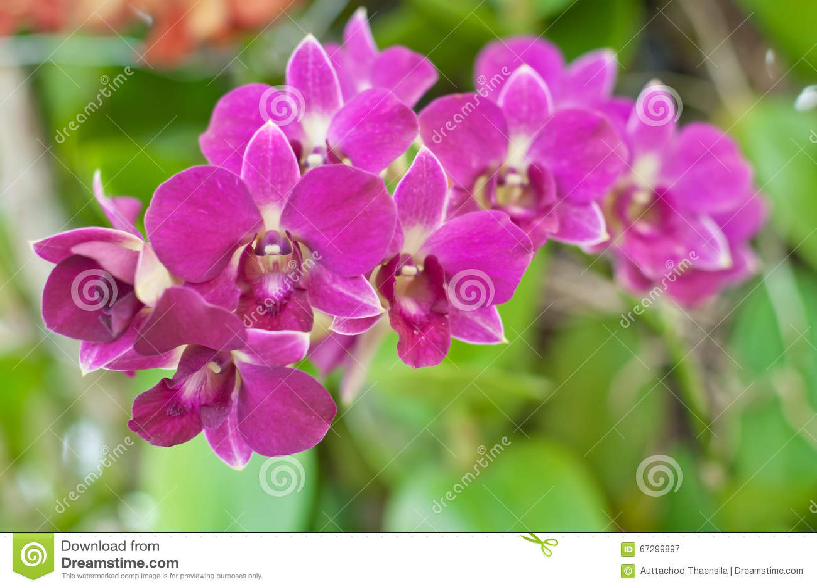 όμορφη orchid πορφύρα