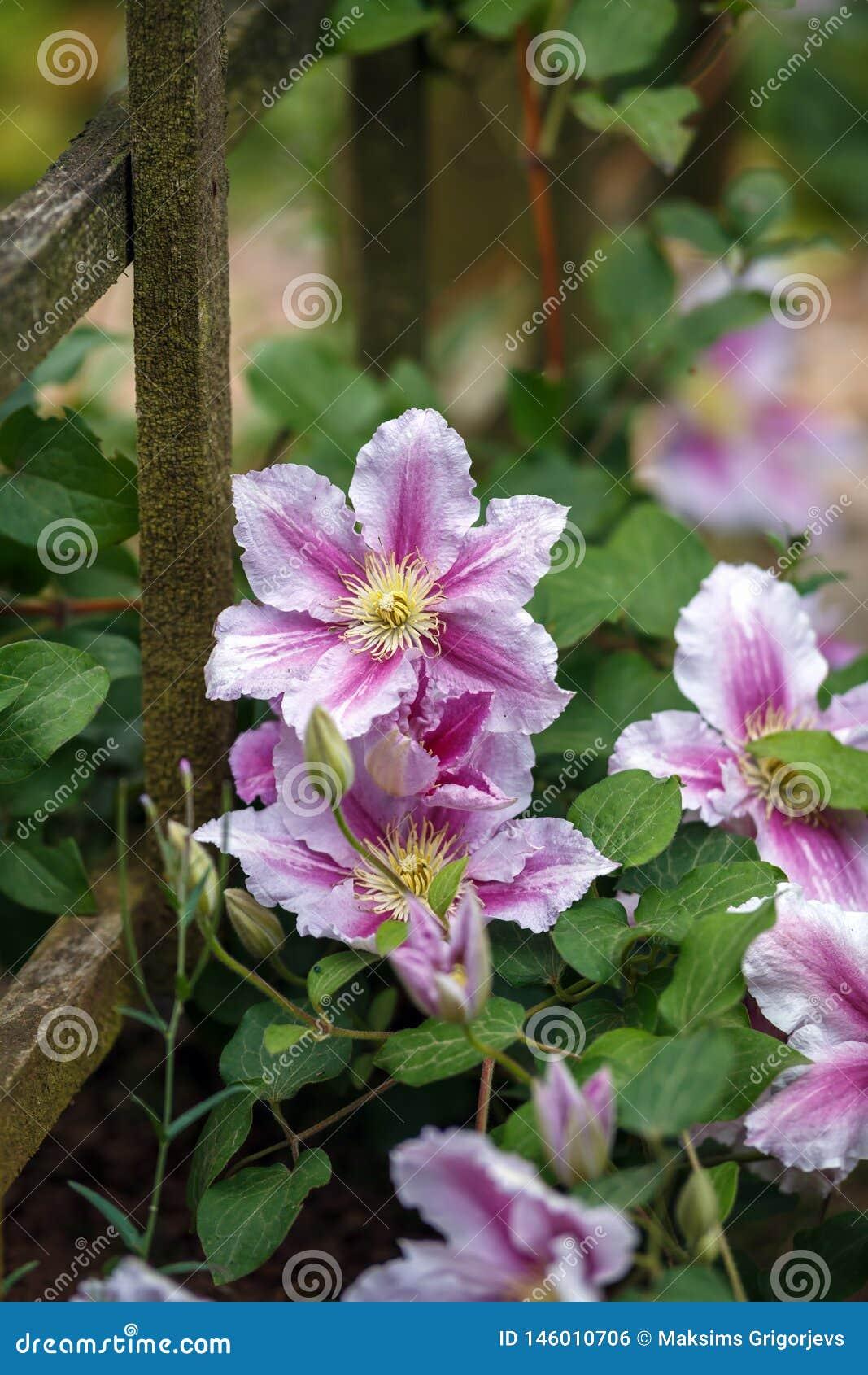 Όμορφος βαθύς - ρόδινο, πορφυρό λουλούδι Clematis στον κήπο