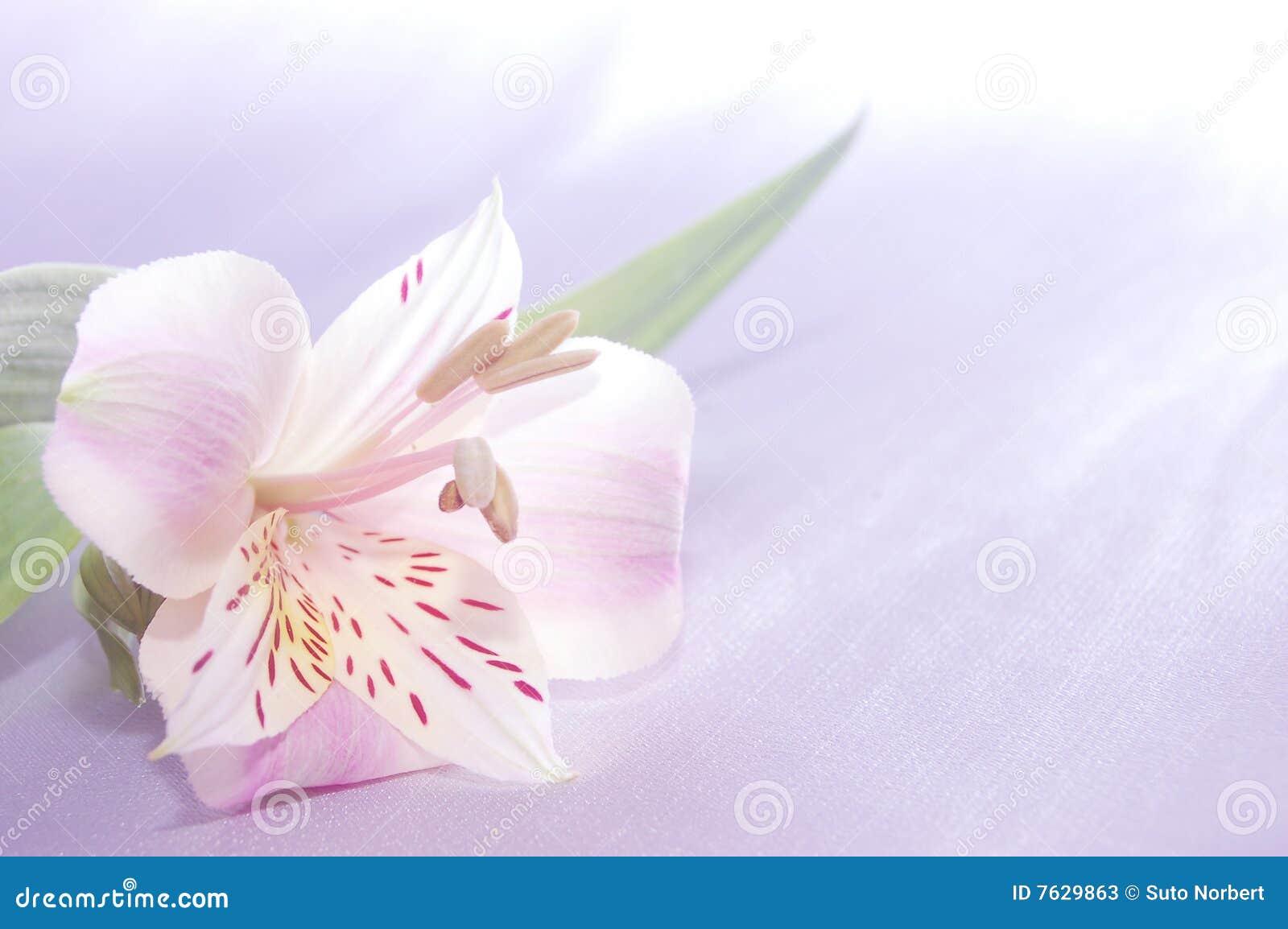 όμορφος εξωτικός lilly