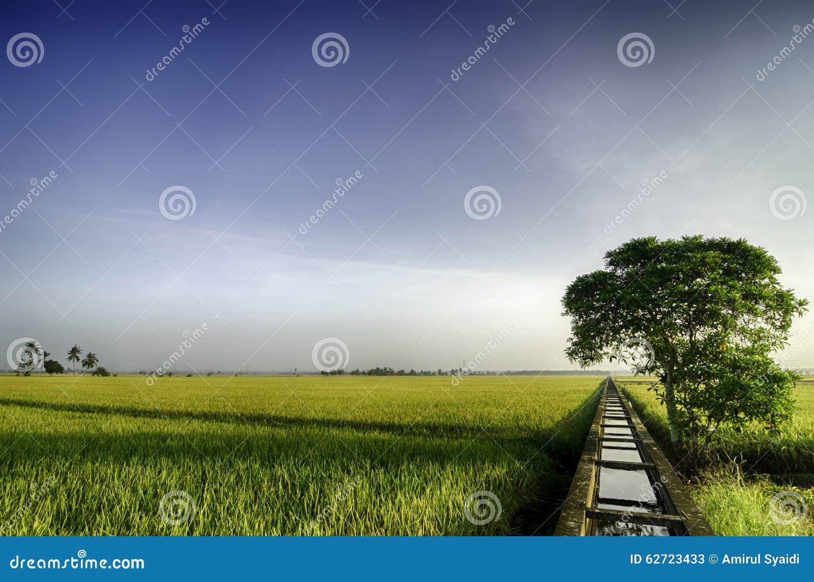 Όμορφος ευρύς τομέας ορυζώνα άποψης κίτρινος το πρωί μπλε ουρανός και ενιαίο δέντρο στο αριστερό
