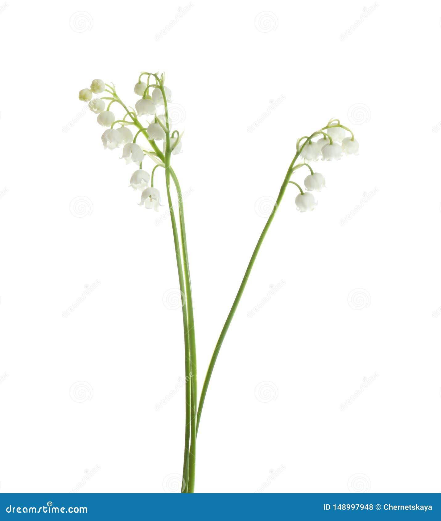 Όμορφος ευώδης κρίνος των λουλουδιών κοιλάδων