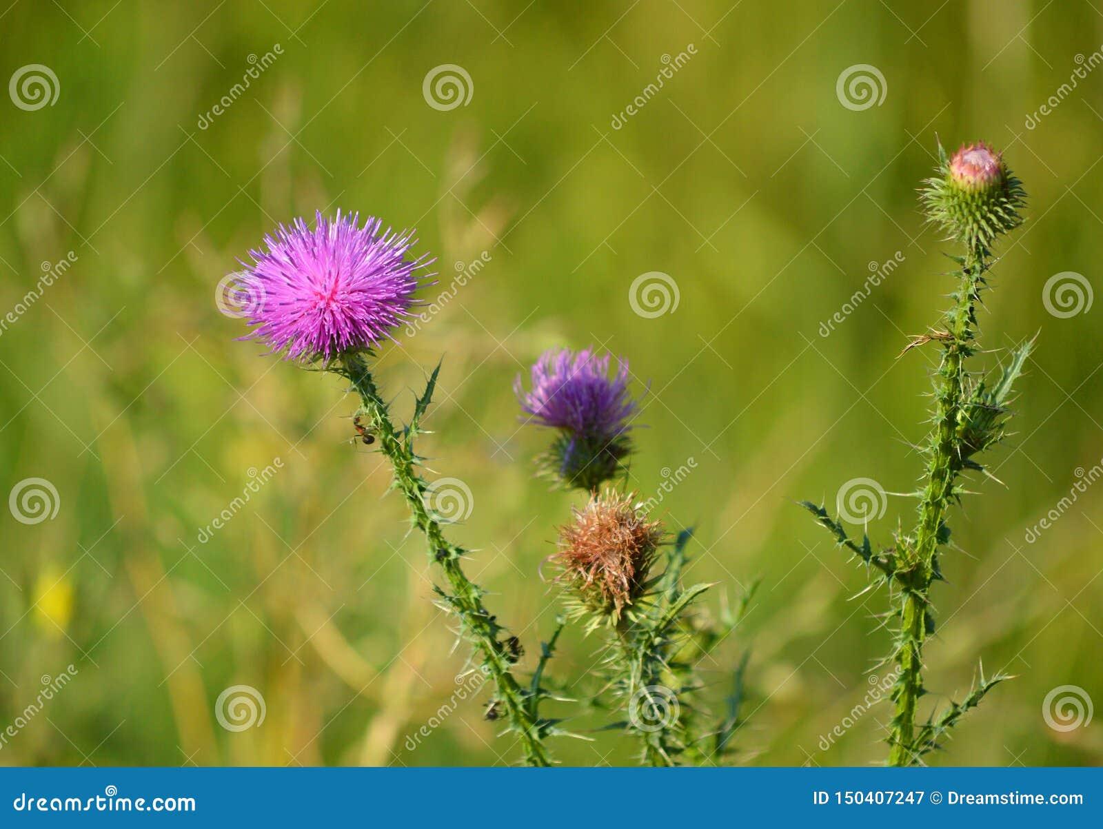 Όμορφος κάρδος Cárduus Θερινά λουλούδια