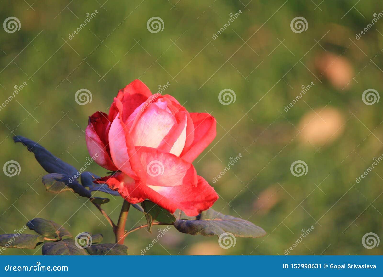 Όμορφος και δελεαστικός αυξήθηκε διαδίδοντας χαρά λουλουδιών