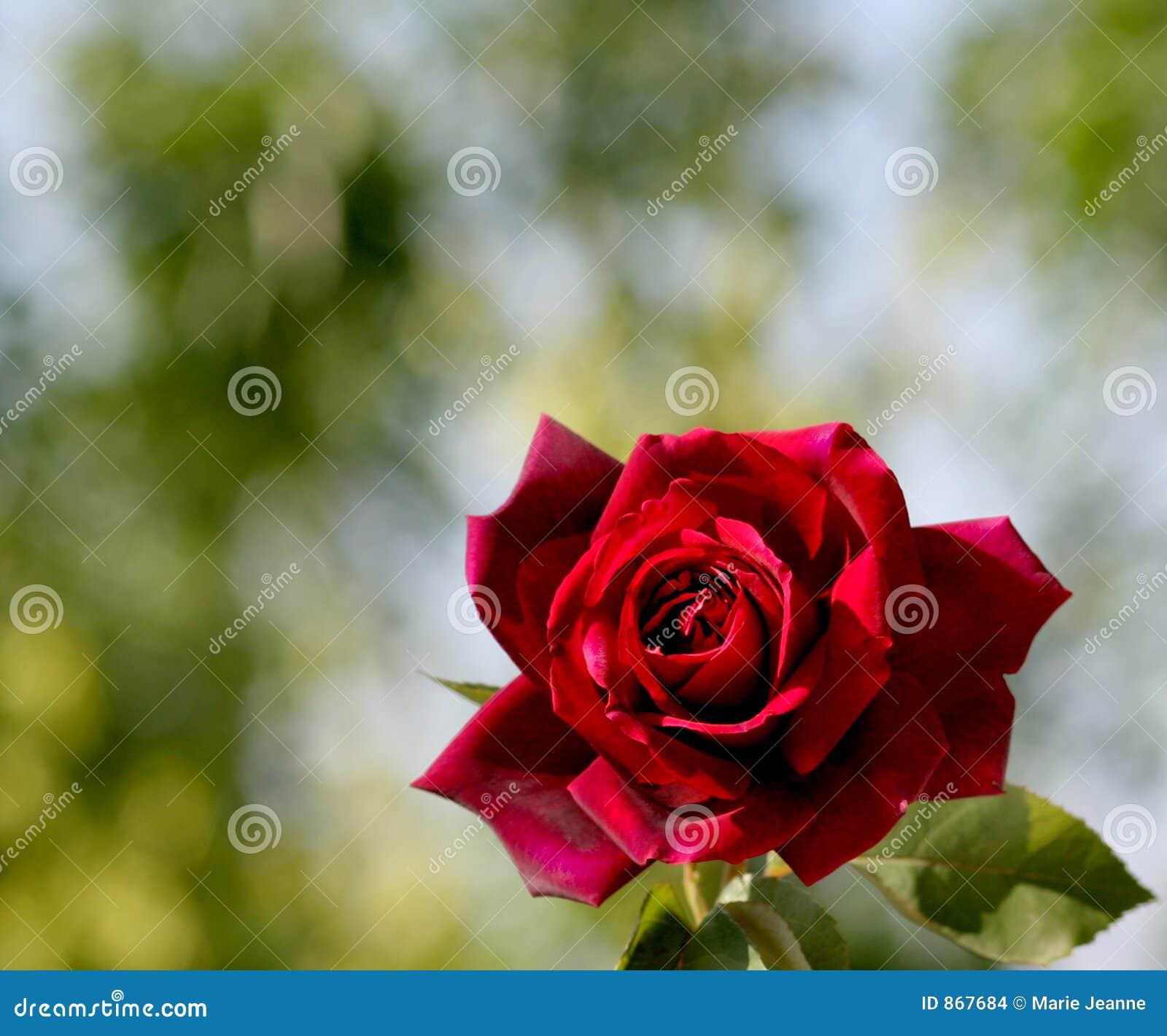 όμορφος κόκκινος αυξήθη&kapp