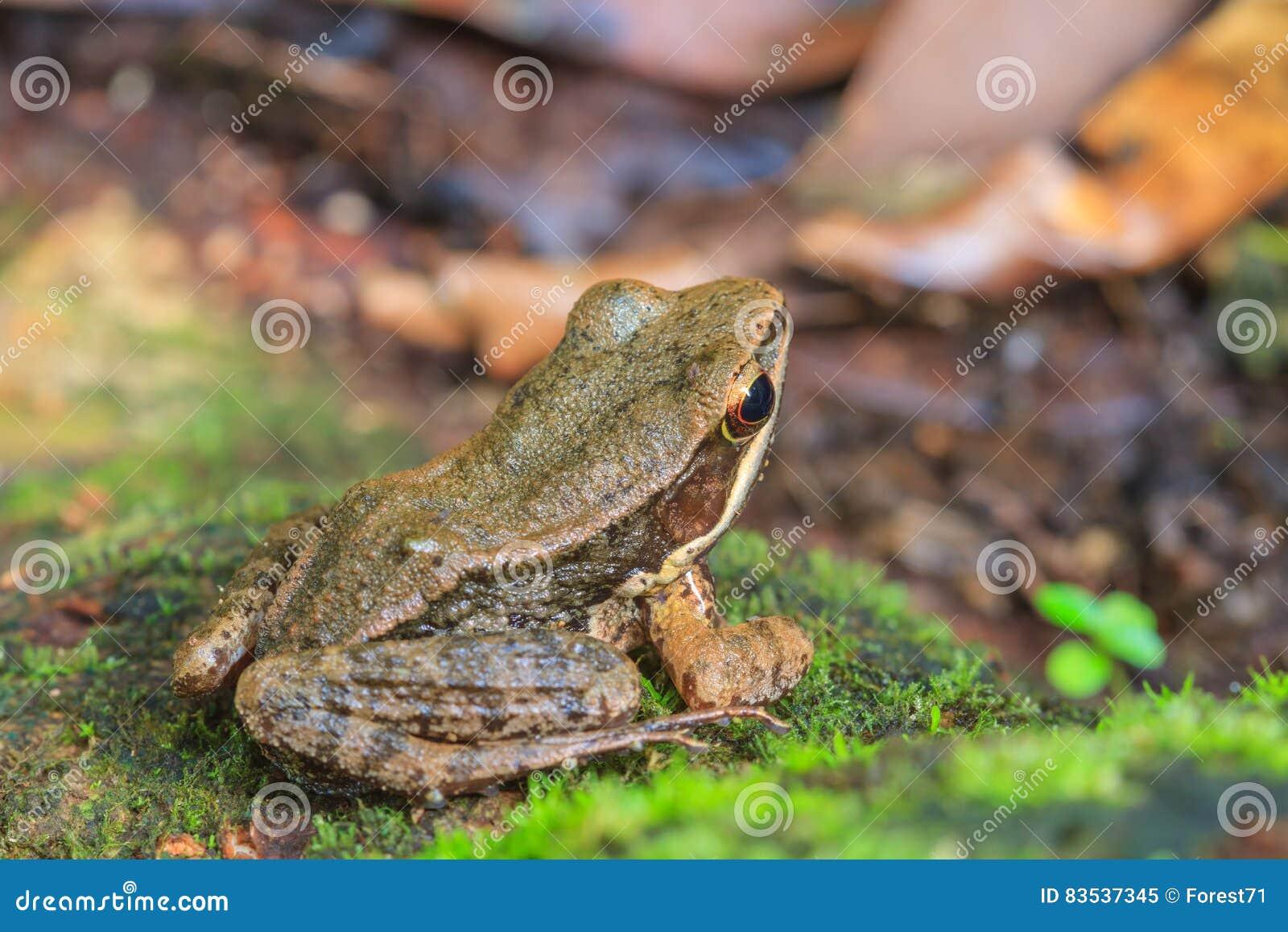 Όμορφος σκοτεινός-πλαισιωμένος βάτραχος στο δάσος