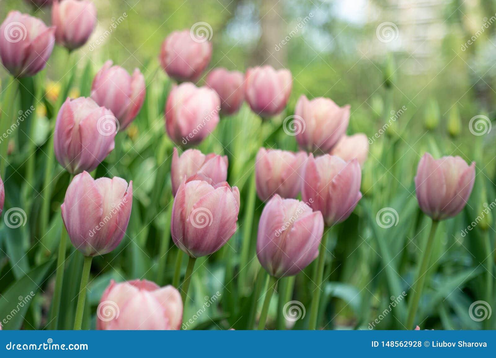 Όμορφος χλωμός - ρόδινο πάρκο τουλιπών που ανθίζουν την άνοιξη