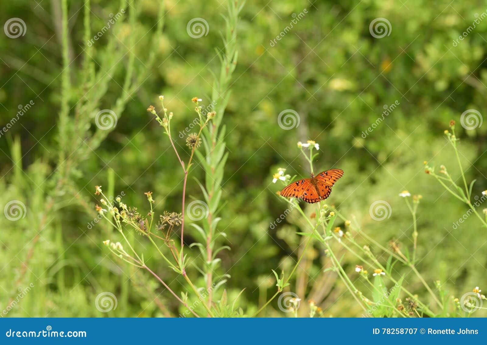όμορφος fritillary κόλπος πεταλούδων