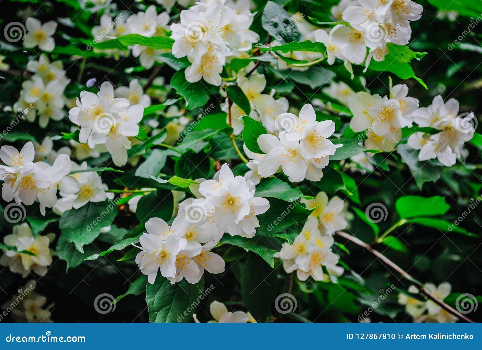 Όμορφο αειθαλές άσπρο jasmine λουλούδι
