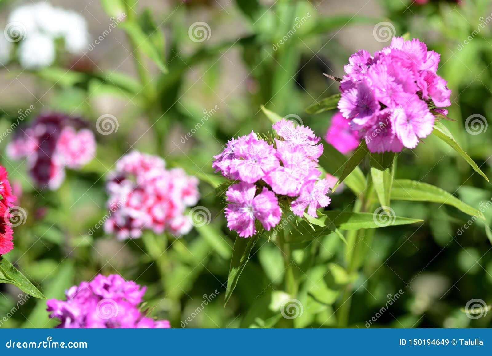 Όμορφο γλυκό barbatus Dianthus λουλουδιών William στον κήπο