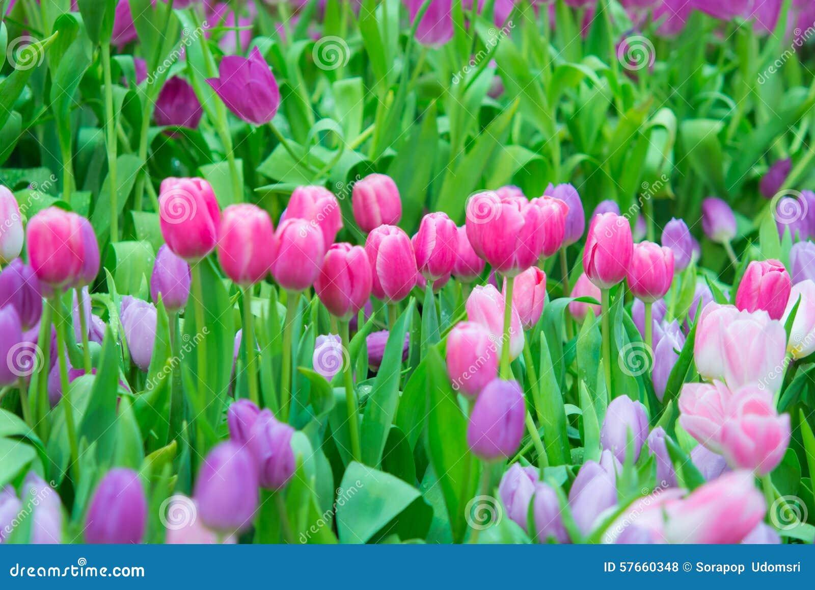 Όμορφο ζωηρόχρωμο λουλούδι τουλιπών