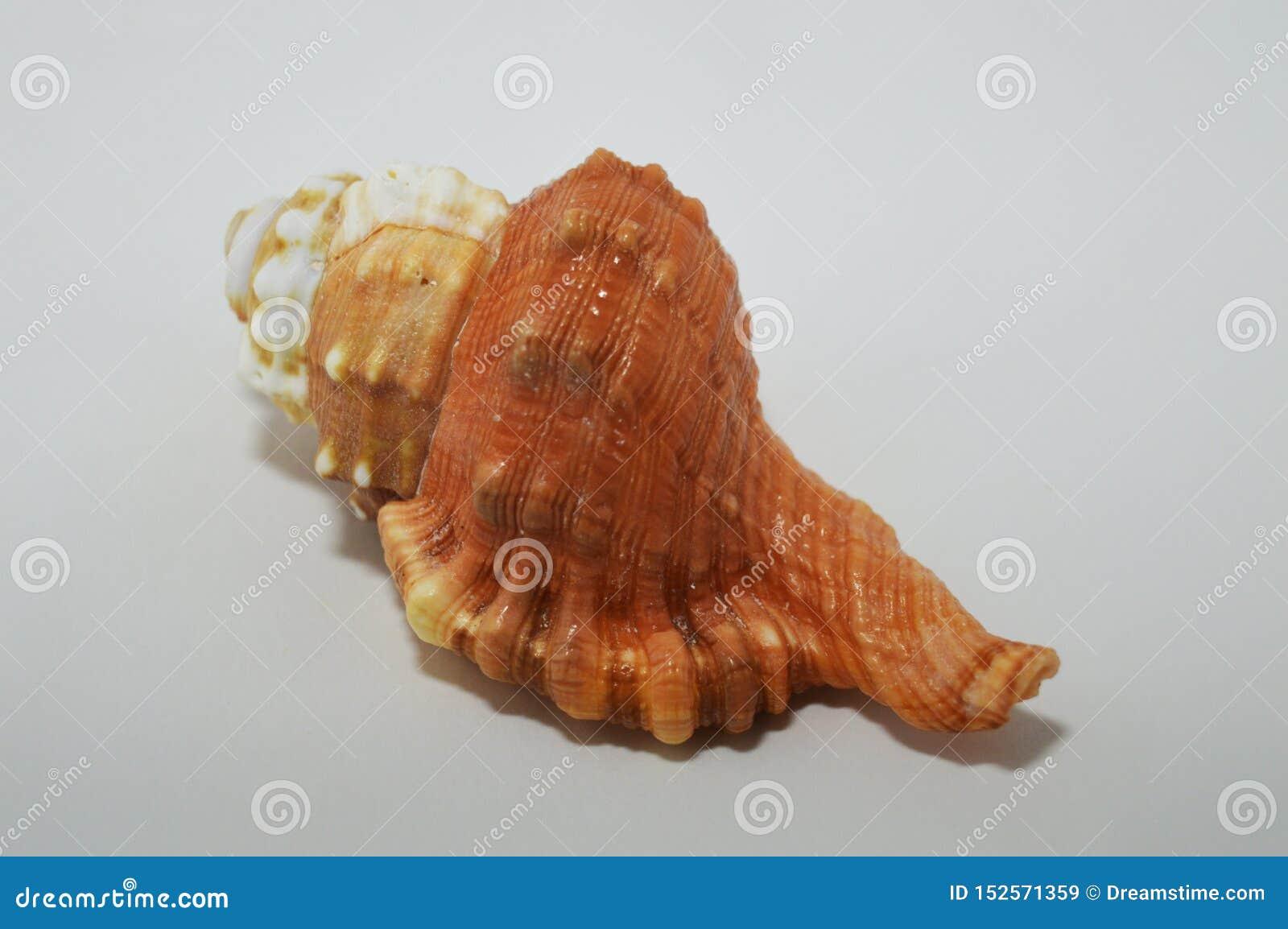 Όμορφο θαλασσινό κοχύλι στο άσπρο υπόβαθρο Υπόβαθρο με ένα ζωηρόχρωμο κοχύλι
