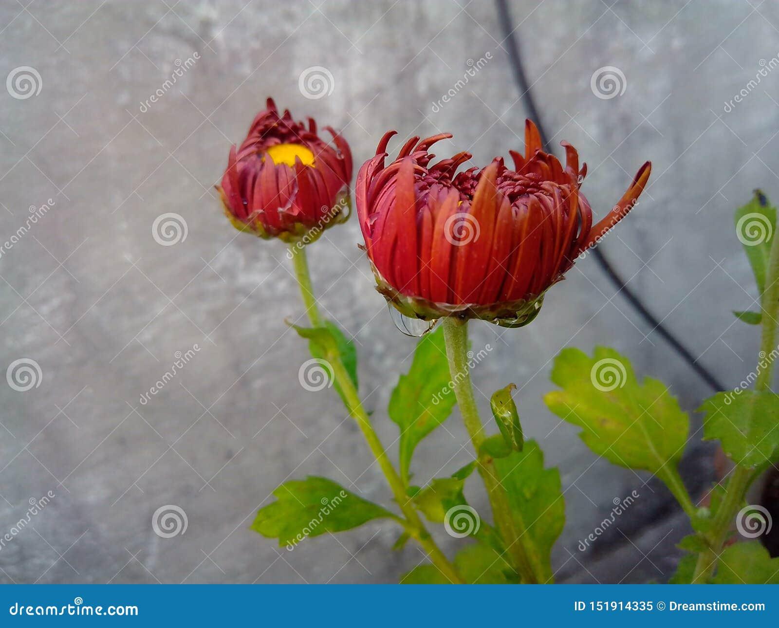 Όμορφο καφετί λουλούδι κήπων με τα σταγονίδια νερού