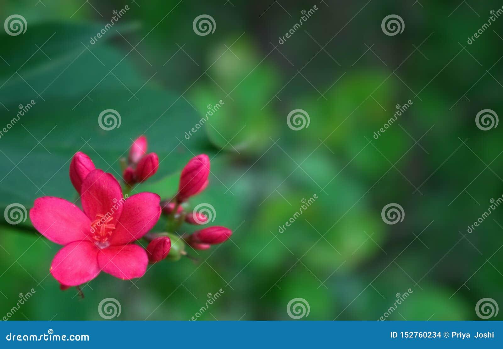 Όμορφο κόκκινο λουλούδι στον κήπο με το πράσινο υπόβαθρο