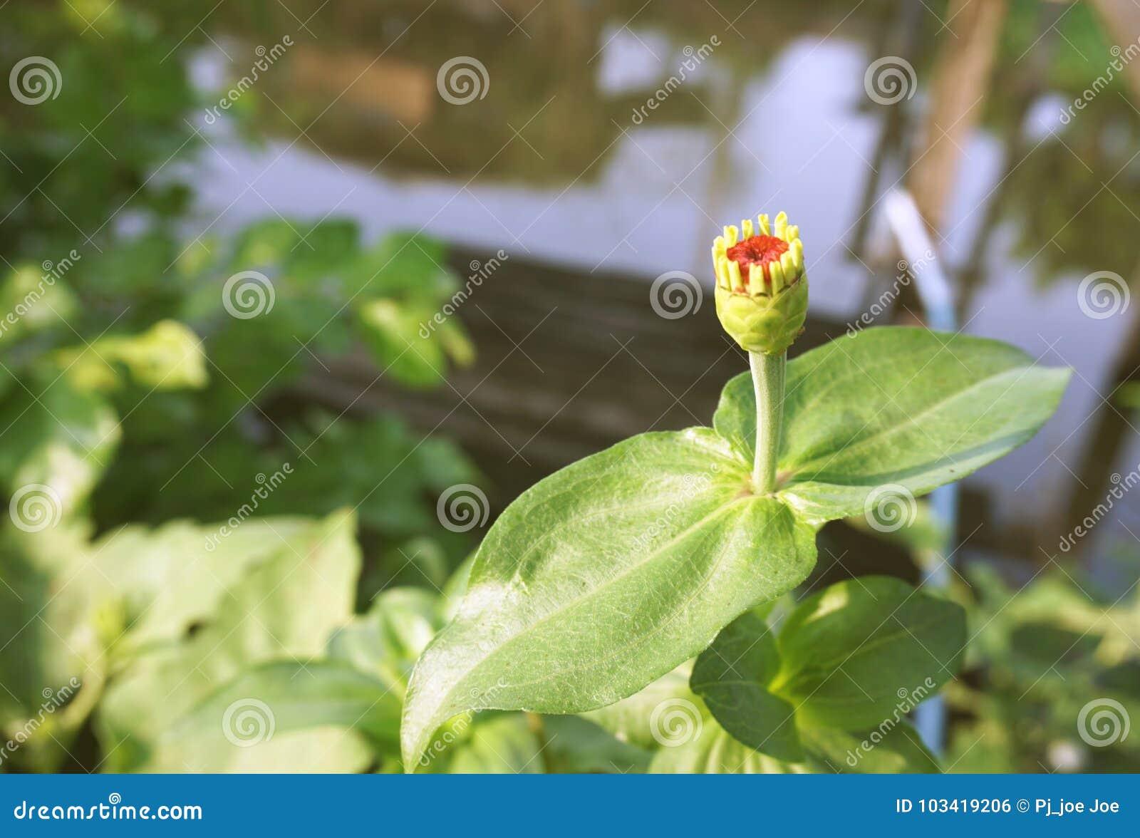 Όμορφο λουλούδι αμάραντων σφαιρών στον κήπο