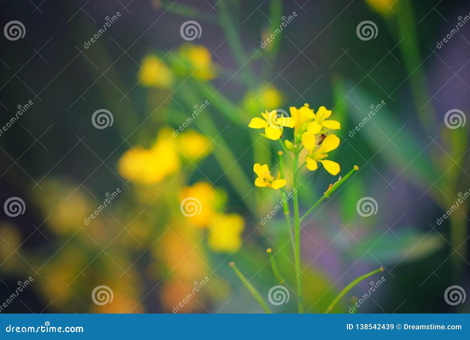 Όμορφο λουλούδι μουστάρδας